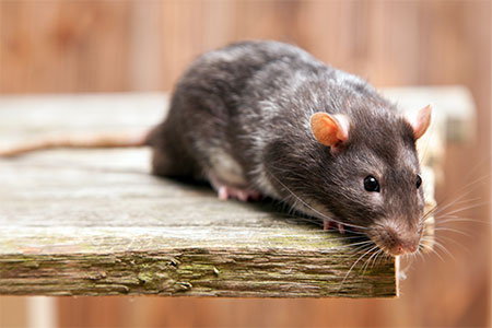 Texas Gulf Coast Rat Control